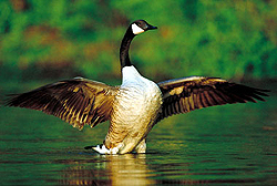 Canada goose. (Photo - Courtesy Parc national de Plaisance)